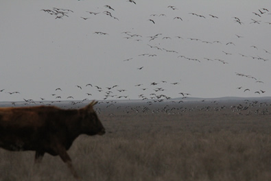 Cow and White-fronted Geese