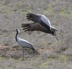 Pair of Demoiselle cranes